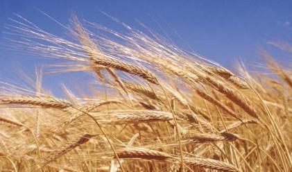 Пшеницата поевтинява за четвърти пореден ден