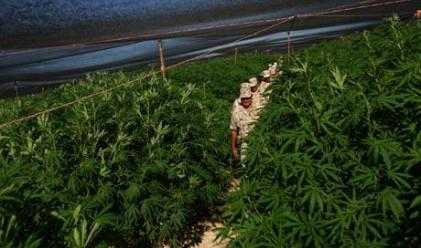 Най-голямата плантация с марихуана - в Мексико