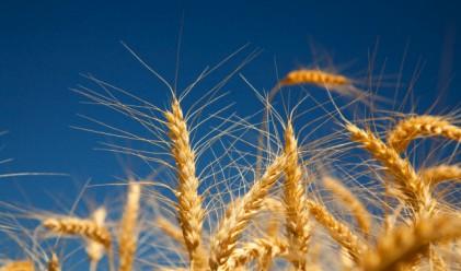 Пшеницата стигна рекордните 450 лв./т