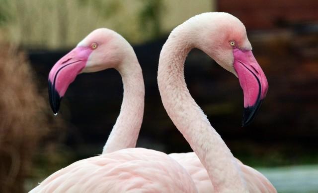 Да плуваш с фламинго на остров край Аруба