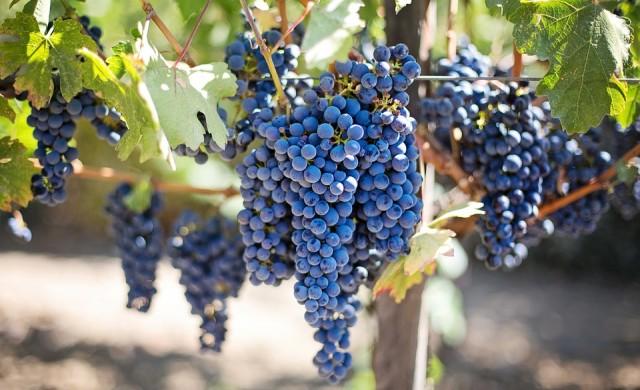 15 любопитни факта за гроздето