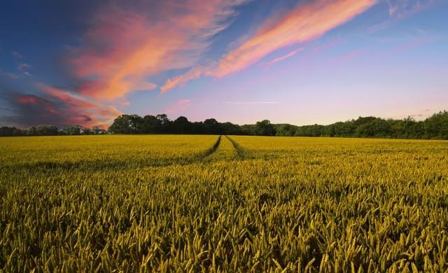 Чакаме реколта от 5.4 млн. тона  жито