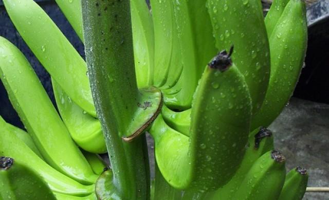 Бананите - такива, каквито ги познаваме, са на изчезване