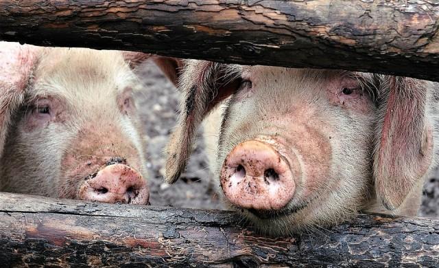 Анализатори: Броят на прасетата в Китай може да намалее с 50%