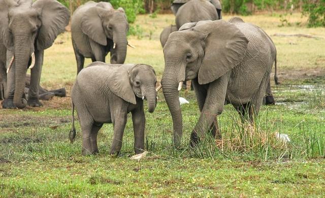 Стотици слонове умряха в Ботсвана