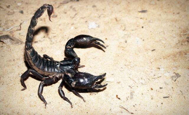 Двуметрови морски скорпиони тероризирали Земята преди векове