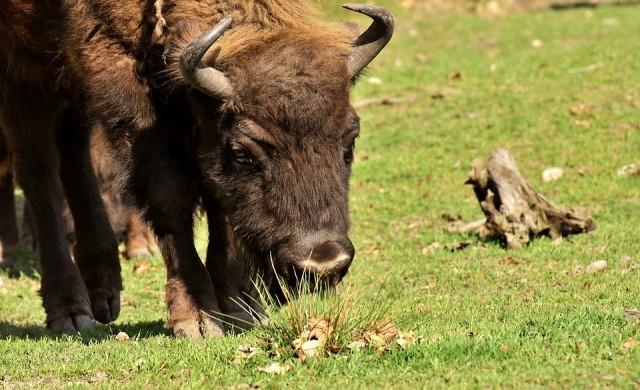Европейските бизони се завръщат в горите за първи път от 6000 години