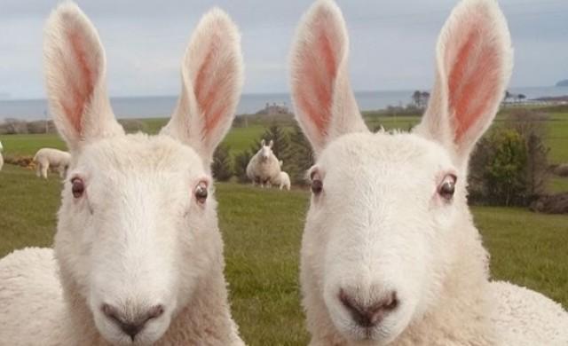 Това овца ли е или заек?