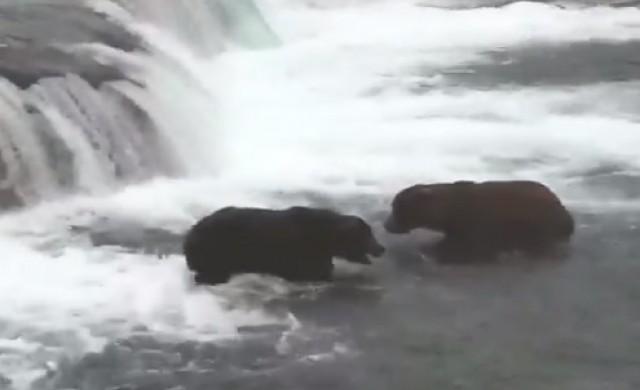В царството на дебелите мечки има нов господар