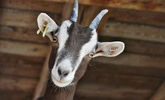 Хаваите раздават чрез лотария... кози