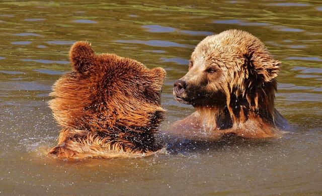 Семейство мечки се спаси от жегите с плуване в езерото Тахо