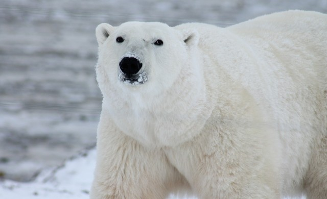 Това са най-едрите породи мечки в света
