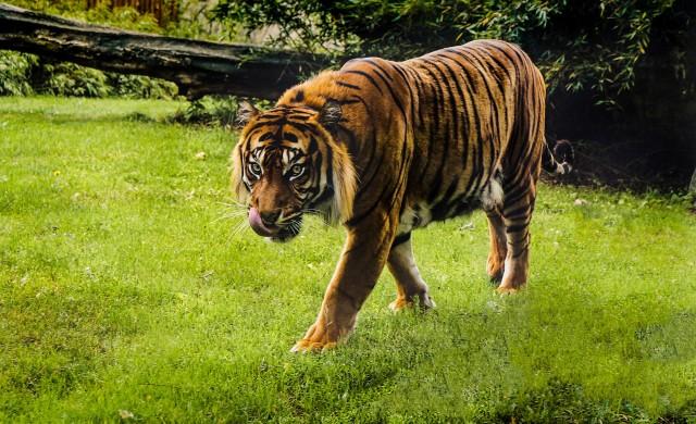 Къде живее най-старият тигър на света?