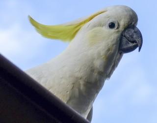 Папагалите в Сидни се учат един от друг да отварят контейнери за смет