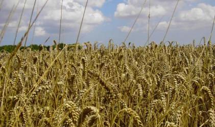 Пшеницата продължава да плаши с цената си