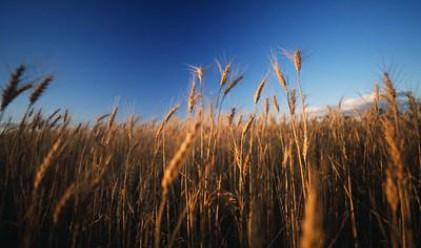 Цената на пшеницата скочи двойно и у нас