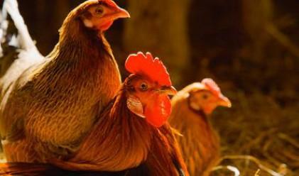Фермер обвини ВВС за смъртта на 5000 кокошки