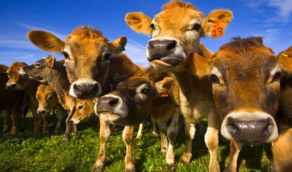 Бонбони вместо царевица в менюто на кравите