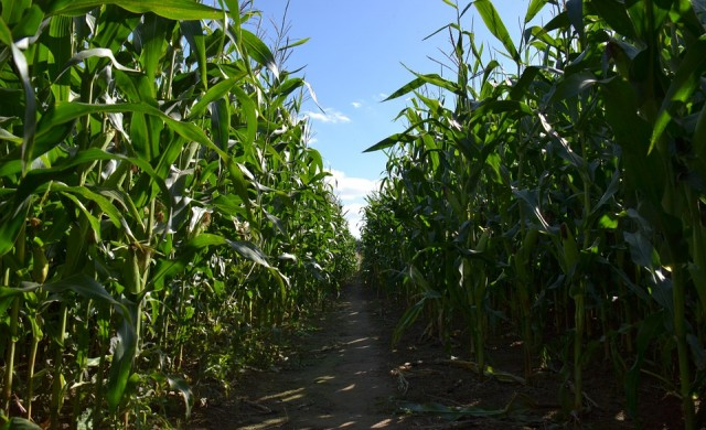 Промени в климата намаляват реколтите от ориз, пшеница и царевица