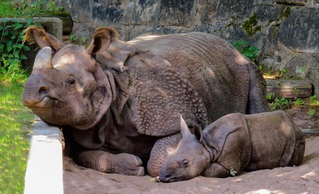 Надежда за вида: роди се бял носорог чрез изкуствено оплождане