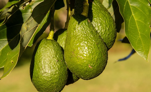 Мексиканските наркокартели воюват заради търговията с авокадо
