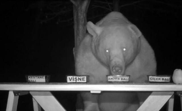 Пчелар превърна крадливи мечки в свои дегустатори (видео)