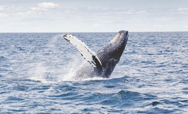 Жена пострада, докато плуваше с китове в Австралия