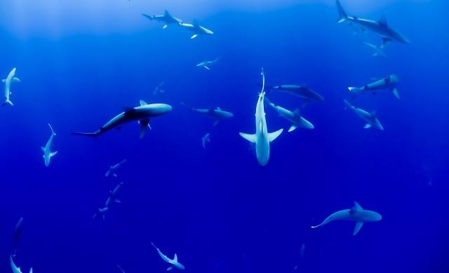 Три дестинации, в които ще се сближите с акулите