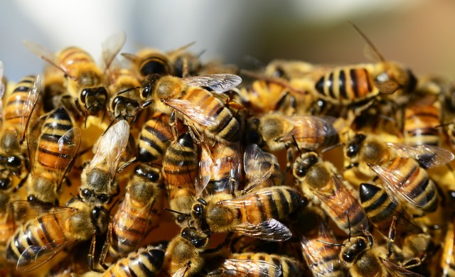 Семейство от Пенсилвания откри половин милион пчели в дома си