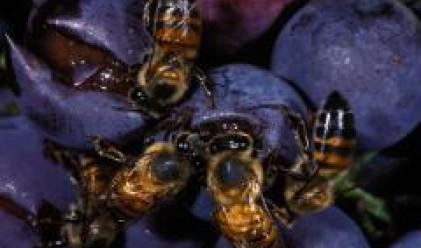 Ако пчелите изчезнат, плодовете и зеленчуците ще станат по-скъпи
