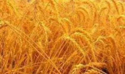 Цените на пшеницата на борсата в Русе се стабилизираха около 250-270 лв/т.