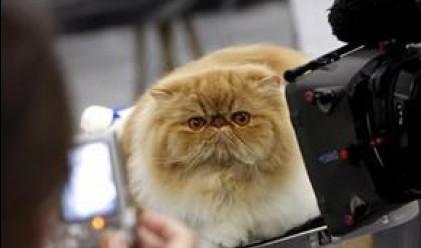 Най-дебелата котка в света тежи близо 16 кг