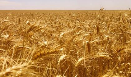 Тазгодишната реколта от хлебна пшеница е близо 1 млн. тона