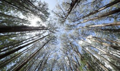 Битката на гигантите: секвоя срещу евкалипт за най-високо дърво