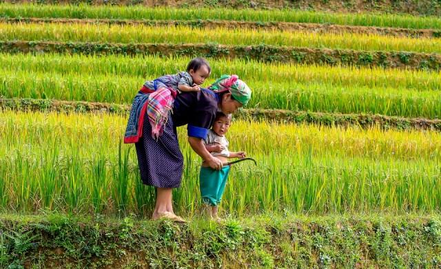 Туристически пакет до С. Корея включва работа в оризовите полета