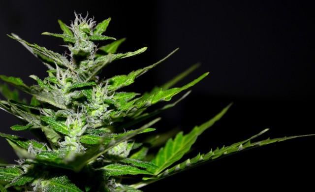 В света на марихуаната вече има еквивалент на Berkshire Hathaway