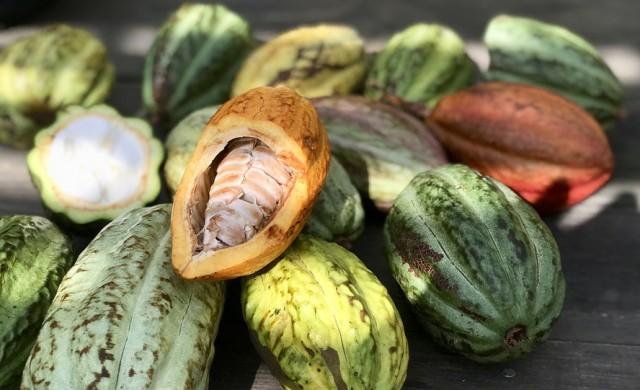 Как се произвежда шоколадът от най-рядкото какао в света?