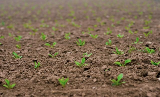 Защо европейските фермери се отказват от захарното цвекло?