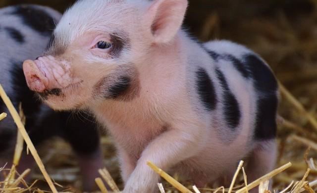 Фотосесия на новородено прасенце хит в интернет (снимки)