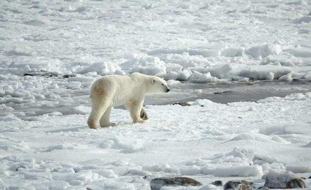 Топенето на арктическия лед води до кръвосмешения при полярните мечки