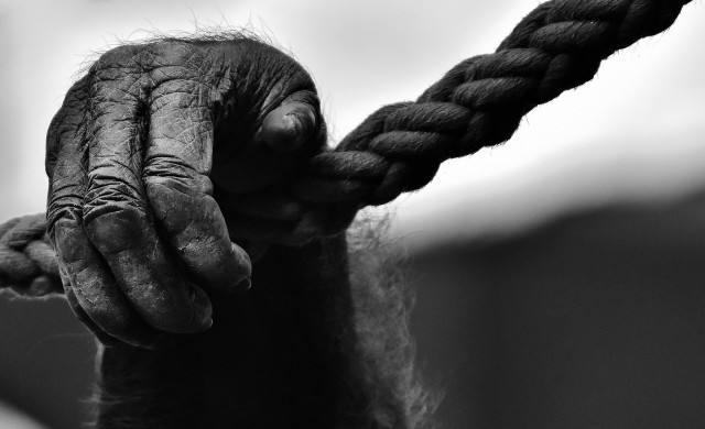 Най-възрастната мъжка горила в света се разболя от COVID-19