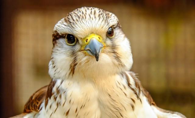 Куриоз: Трусът в Мелбърн изхвърли сокол от гнездото му (видео)