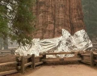 Пожар стигна опасно близо до най-голямото дърво в света