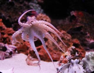 Женските октоподи хвърлят предмети по мъжките, когато са ядосани