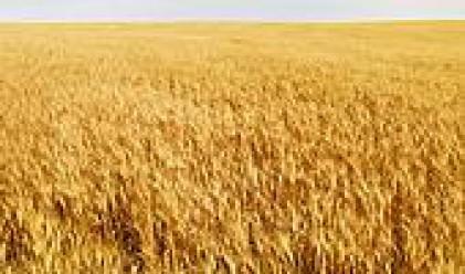Цената на пшеницата достигна 2-месечен максимум