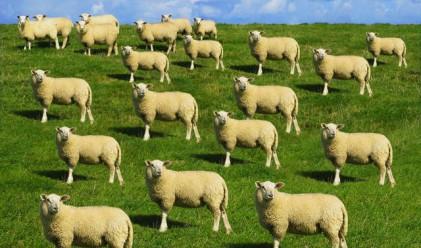Златното руно на XXI век: Овца за 2 млн. долара