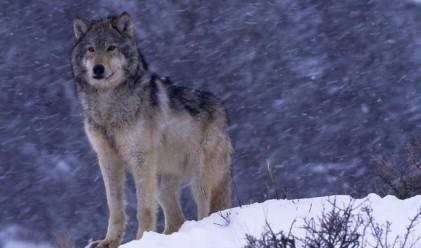 Еuropean Voice се загрижи за вълка на Първанов