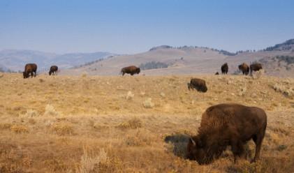 Биволи умират от глад във ферма на