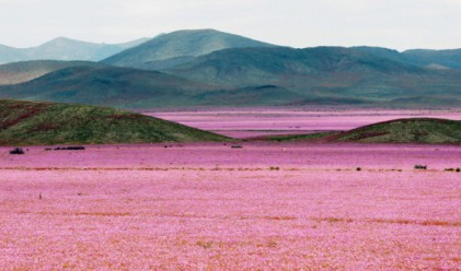 Най-сухата пустиня на Земята разцъфтя