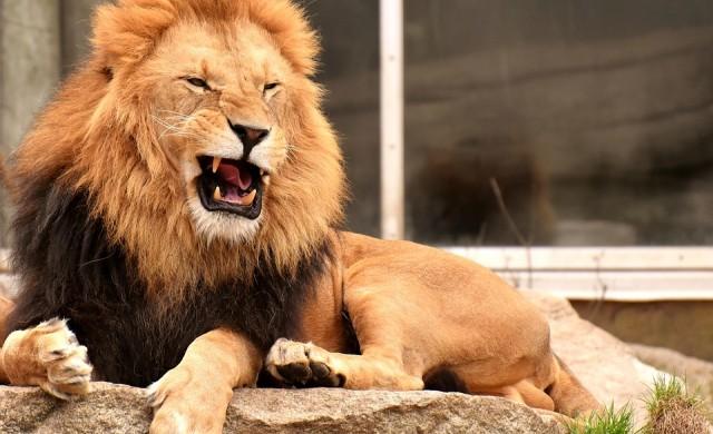 Мъж насъска домашния си лъв срещу електротехник, търсещ парите си